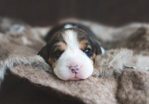 seattle beagle wa -4