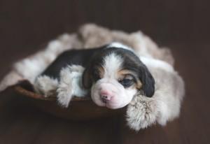 seattle beagle wa -5