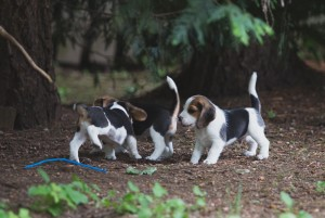 beagle akc 6 weeks-1
