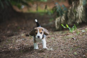 beagle akc 6 weeks-17