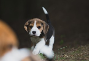 beagle akc 6 weeks-29
