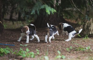 beagle akc 6 weeks-3