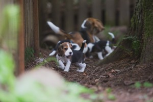 beagle akc 6 weeks-32