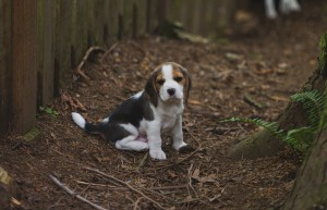 beagle akc 6 weeks-33