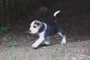 beagle akc 6 weeks-42