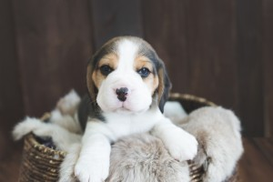 beagle puppy 4 weeks-1