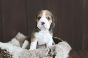 beagle puppy 4 weeks-2