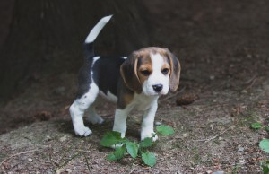 Beagle 8 weeks-12