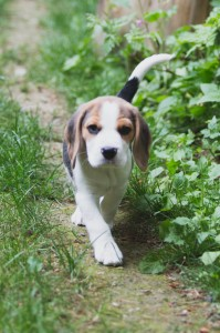 Beagle 8 weeks-17