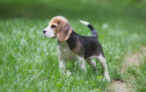 Beagle 8 weeks-24