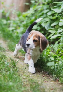 Beagle 8 weeks-31