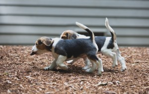 Beagle 8 weeks-34