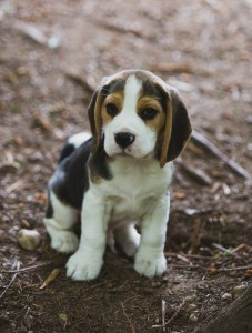 Beagle 8 weeks-43