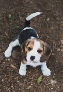 Beagle 8 weeks-44