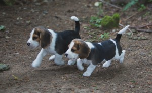 Beagle 8 weeks-48