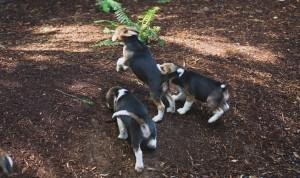 beagle puppy 9 wks-11