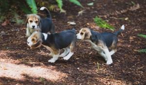 beagle puppy 9 wks-14