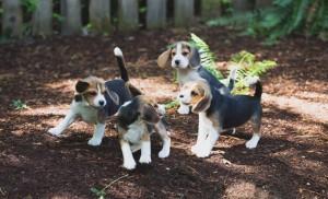 beagle puppy 9 wks-16