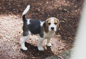 beagle puppy 9 wks-18