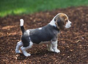 beagle puppy 9 wks-19