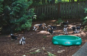 beagle puppy 9 wks-20
