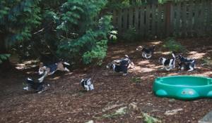 beagle puppy 9 wks-21