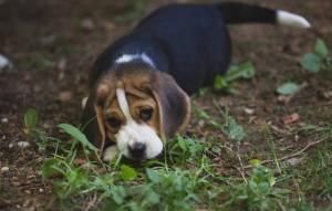 beagle puppy 9 wks-3