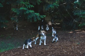 beagle puppy 9 wks-34