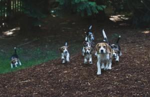beagle puppy 9 wks-38