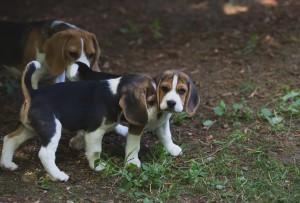 beagle puppy 9 wks-4
