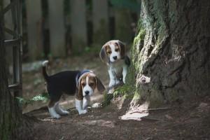 beagle puppy 9 wks-7
