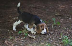 beagle puppy 9 wks-8