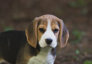 beagle puppy 9 wks-9
