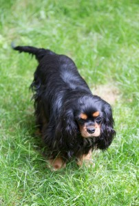 cavalier king charles pregnant-1