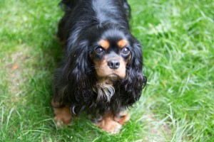 cavalier king charles pregnant-2