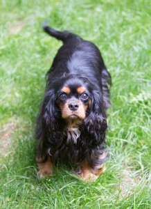cavalier king charles pregnant-3