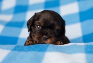 cavalier puppies 3 weeks-1