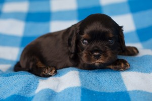 cavalier puppies 3 weeks-11