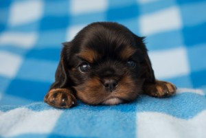 cavalier puppies 3 weeks-13
