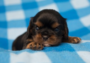 cavalier puppies 3 weeks-14