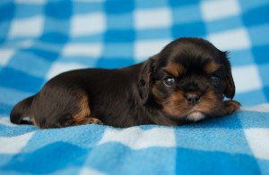 cavalier puppies 3 weeks-16