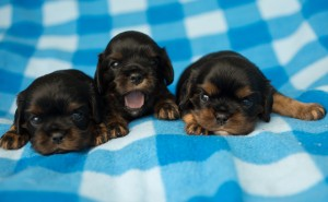 cavalier puppies 3 weeks-6