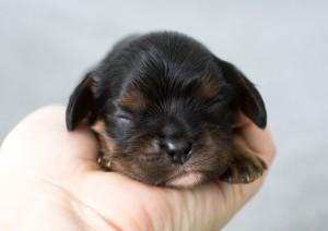 cavalier puppy 1week-10