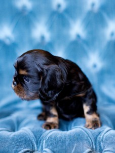 cavalier puppy seattle 5 weeks-3