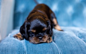 cavalier puppy seattle 5 weeks-4