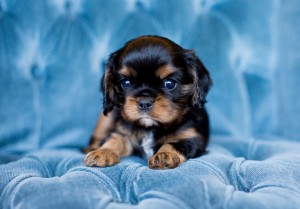 cavalier puppy seattle 5 weeks-7