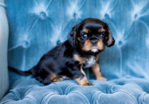 cavalier puppy seattle 5 weeks-9