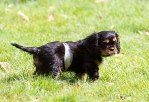 cavalier puppy 9 weeks-124
