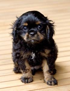 cavalier puppy 9 weeks-197