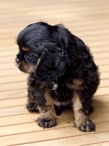 cavalier puppy 9 weeks-200